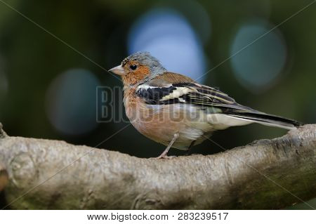 Portrait Of Male Common Chaffinch (fringilla Coelebs) On The Tree Branch. Photography Of Nature And