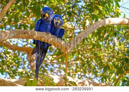 Hyacinth Macaw, Anodorhynchus Hyacinthinus, Or Hyacinthine Macaw, Pantanal, Mato Grosso Do Sul, Braz