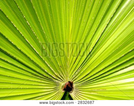 Exploding Leave Of A Palm