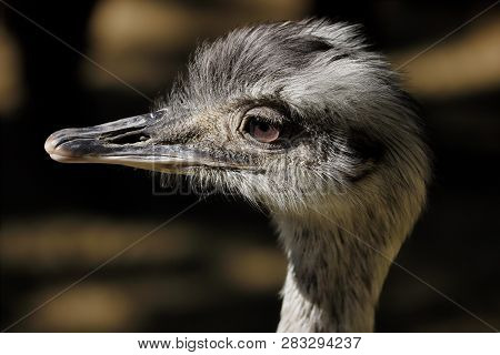 Ortrait Profile Of Female Grey Greater Rhea (rhea Americana). Photography Of Nature And Wildlife.