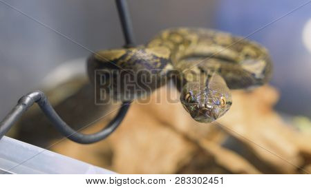 reticulated python sticks out tongue and hisses. Dangerous snake in the terrarium. Herpetologist takes an aggressive snake poster