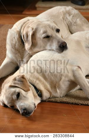 Two white labrador dogs snooze indoors on a living room sofa.  poster