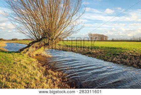 Skew Growing Pollard Willows In A Dutch Polder Landscape. The Phot Was Taken In The Zonzeelse Polder
