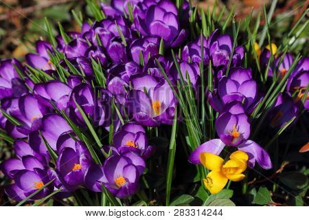 Close-up Of Lilac Crocus Flowers On The Spring Meadow. Macro Photography Of Nature.