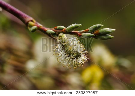 Close-up Of Pussy Willow Tree Branch In The Sptingtime. Macro Photography Of Nature.