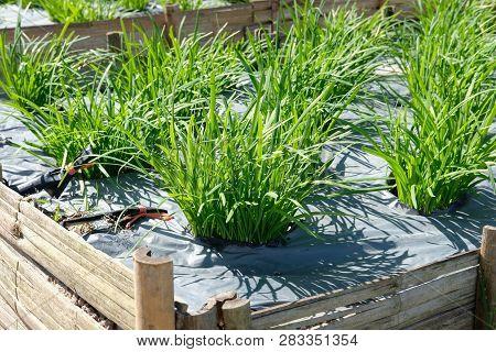 Garlic Chives Plant Growing In Farm. Vegatable Plantation  In Garden