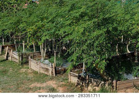 Drumstick Leaves. Horse Radish Tree Growing In Farm