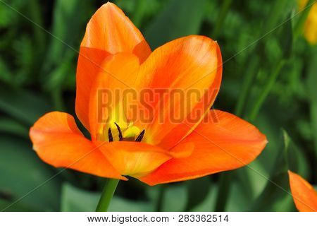 Close-up Of Orange Tulip Flower In The Spring Garden. Macro Photography Of Nature.