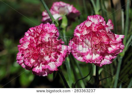 Close-up Of White-pink Dianthus Flowers In The Summer Garden. Macro Photography Of Nature.