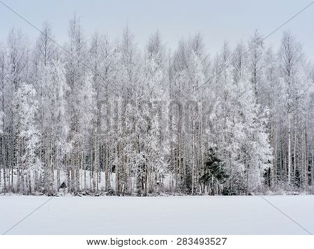 Winter Background With Snowy Birch Trees In Finland. Snow Covered Forest In Cold Weather. Natural Wo