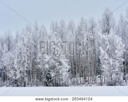 Christmas Background With Snowy Birch Trees In Finland. Snow Covered Forest In Cold Weather. Natural