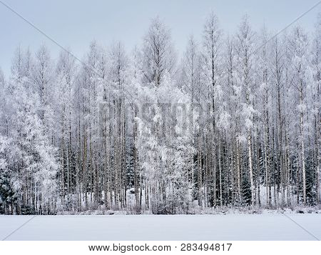 Wintertime Background With Snowy Birch Trees In Finland. Snow Covered Forest In Cold Weather. Natura