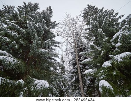 Snowy Background With Snowy Birch Trees In Finland. Snow Covered Forest In Cold Weather. Natural Woo