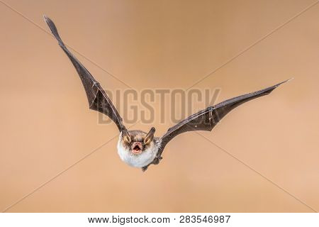 Flying Natterers Bat Isolated On Bright Brown Background