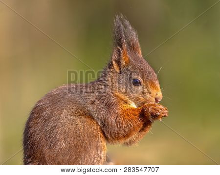 Red Squirrel (sciurus Vulgaris) Looking At Camera Close Up Sideview Portrait On Green Background