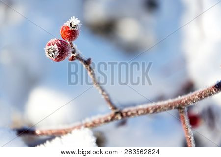 Beautiful Frosty Red Hips Of Wild Dog Rose,  Peaceful Sunny Winter Day Against Clear Blue Sky Backgr