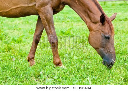 Horse eating grass in a meadow