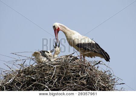 Stork family on the nest