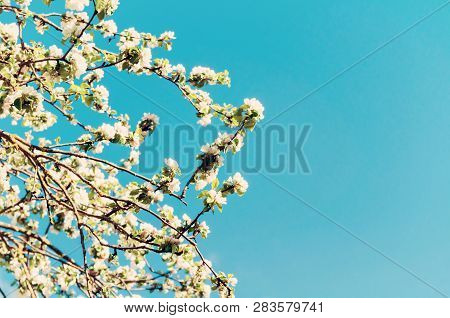 Spring flower landscape in retro tones. Spring flowers of blooming spring apple tree against blue sunny sky. White flowers of spring apple tree in sunny weather, spring background