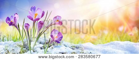 Springtime - Crocus Flower Growth In The Snow With Sunbeam