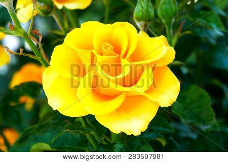 Yellow Roseю Beautiful Yellow Rose In The Garden. Yellow Rose On Green Background.
