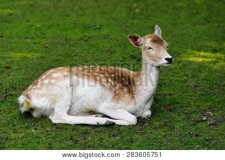 Full Body Of Female Fallow Deer (dama, Dama) On The Meadow. Photography Of Nature And Wildlife.