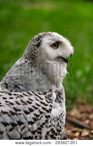 Close-up Of Female Snowy Owl On The Green Background. Photography Of Nature And Wildlife.