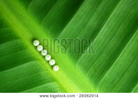 Morpho peleides butterfly eggs, making a line in colorful leaf