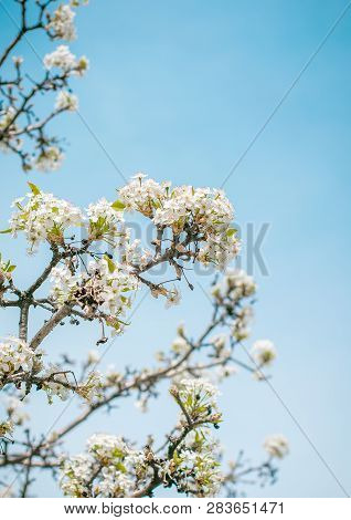 Spring Landscape. Spring White  Flowers Of Blooming Spring Tree Against Blue Sunny Sky, Colorful Spr