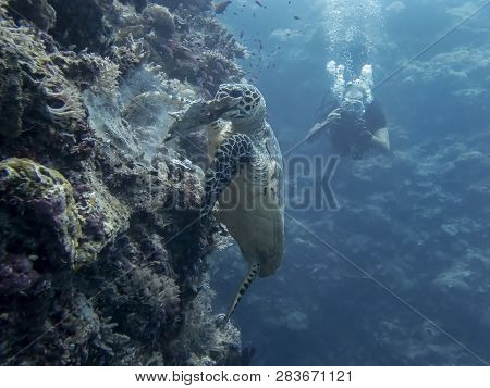 Hawksbill sea turtle rips piece of coral off of reef wall underwater in Palau. poster