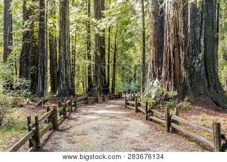 Old Coast Redwoods Along The Trail. Big Basin Redwoods State Park, Santa Cruz County, California, Us