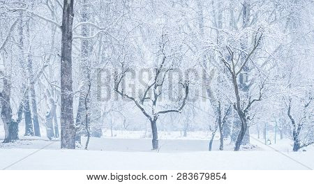 Panoramic View Of Bare Leafless Tree With An Interesting Shape In A Snow Winter Woodland Landscape.