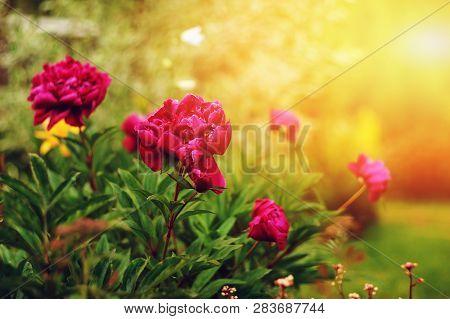 Beautiful Purple Peonies Blooming In Summer Garden. Growing Flowers In Private Garden Or Backyard