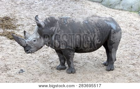White Rhino Standing On Wet Sand - Wet Of Rain