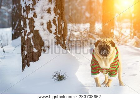 Dog Pug Walking In Winter Forest, Run And Play Outdoors At Sunset