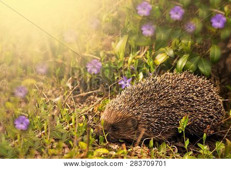 Hedgehog With Apple On The Backs In Green Meadow At Sunny Day. Nature Spring Background. Space For T