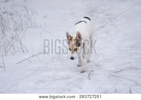 White Cross-breed Of Hunting And Northern Dog Seeking For Scent Of Wild Animal On The Ground Covered