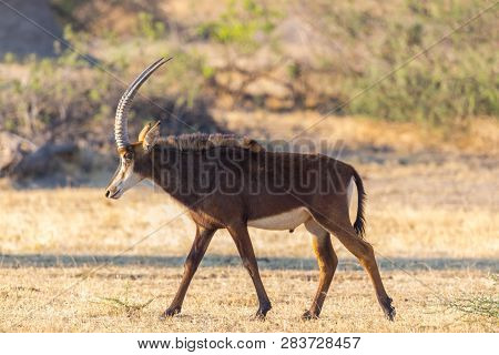 Close Side View Potrait Natural Sable Antelope (hippotragus Niger) In Savanna
