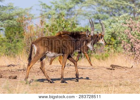 Two Natural Sable Antelopes (hippotragus Niger) Walking In Savanna, Blue Sky