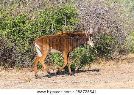 One Sable Antelope (hippotragus Niger) Walking In Savanna With Bushes, Sunlight