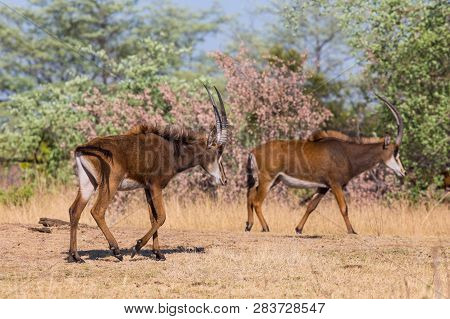 Two Natural Sable Antelopes (hippotragus Niger) Walking In Savanna In Sunlight