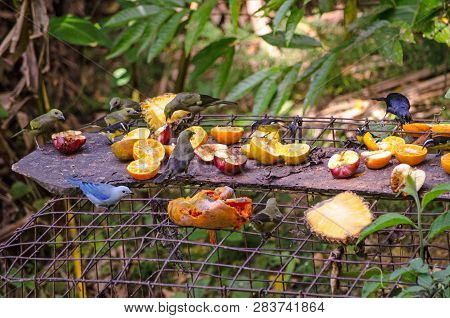 Wild Birds Enjoying The Fruit That Has Been Left For Them To Eat In A Forest Clearing In Tobago.  Bl