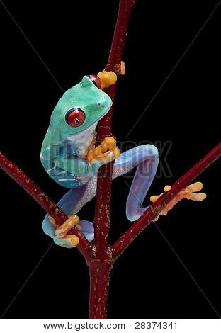 Frog Looking Around Red Vine