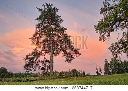 A Single Pine Tree On The Hill In The Summer Evening Sunset. Very Vibrant Pink Sky And Beautiful Clo