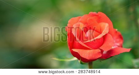 Red Rose Blooming In Rosarium, Close Up View. Floral Background. Single Red Rose Blossoming. Rose Fl