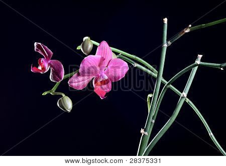 Orchid Flower With Bud At The Branch