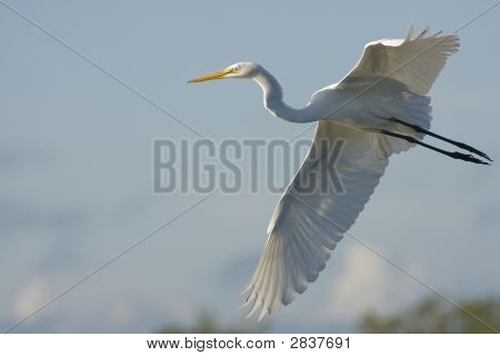 A Great Egret flying down the roadway poster