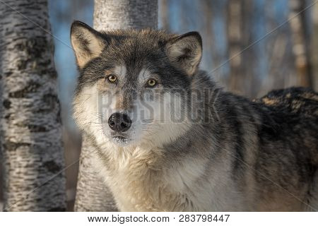Grey Wolf (canis Lupus) Looks Out Head Tilted Winter - Captive Animal