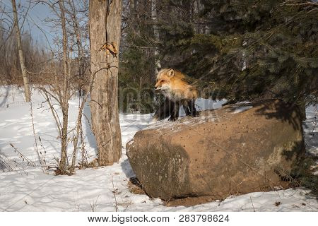 Amber Phase Red Fox (vulpes Vulpes) Stands Atop Rock Winter - Captive Animal