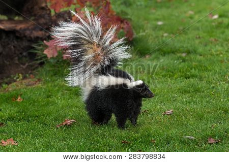 Striped Skunk (mephitis Mephitis) Stands Tail Up Autumn - Captive Animal
